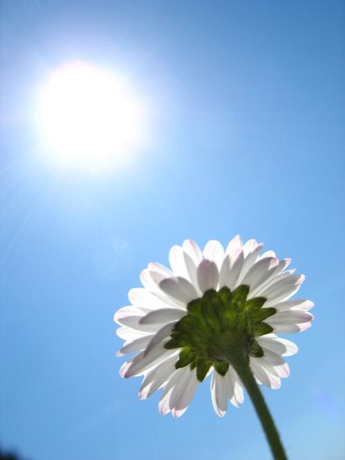 daisy in the sun